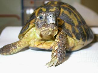 I segni di malattia aae onlus for Letargo tartarughe acquatiche