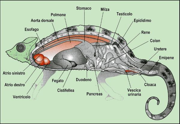 Rappresentazione schematica degli organi interni di un camaleonte, che ha il corpo compresso lateralmente