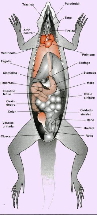 Rappresentazione schematica degli organi interni di un tipico sauro