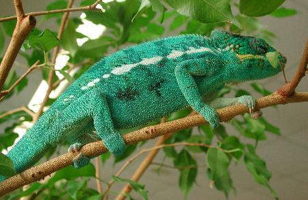Nei sauri arboricoli, in particolare i camaleonti, è indispensabile la presenza di rami