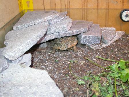 Rifugio di rocce adatto alla tartaruga frittella africana (Malacochersus tornieri)