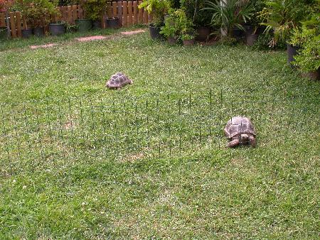 Anche tartarughe esotiche dei climi caldi, come queste giovani G. nigra, durante la bella stagione beneficiano notevolmente della possibilità di stare all'aperto