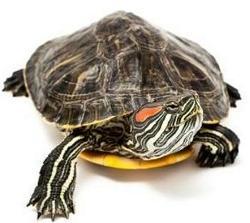 Cose da sapere prima di prendere una tartaruga aae onlus for Tartarughe acqua dolce prezzo